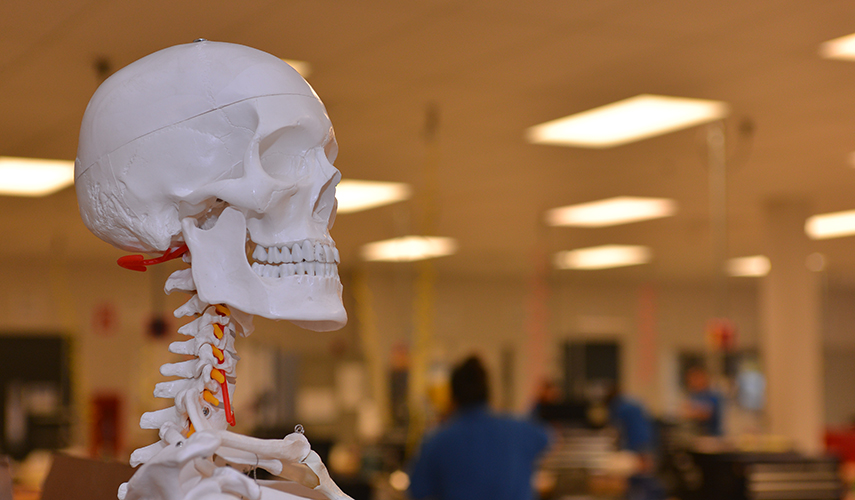 A learning skeleton on display in a lab