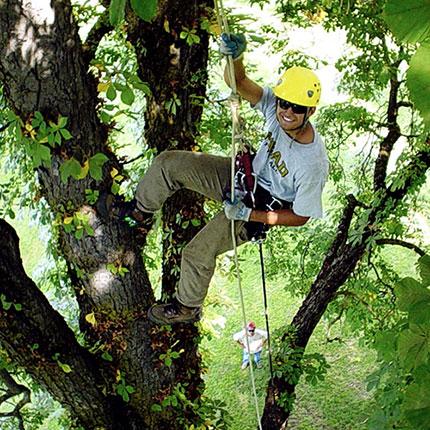 Arborist in a tree.
