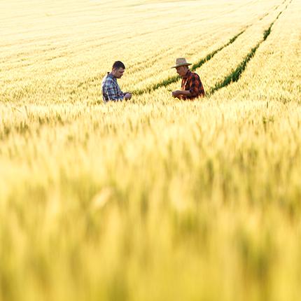 Farmers in a wheat field.