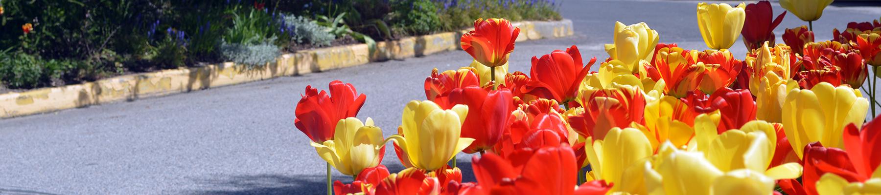 SCC Greenhouse Tulips