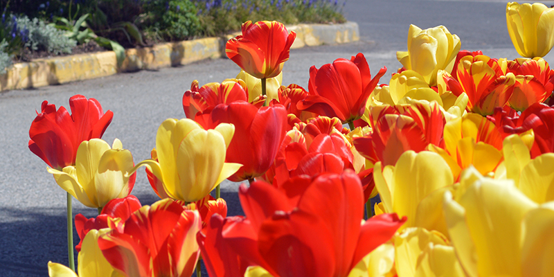 SCC Greenhouse Tulips